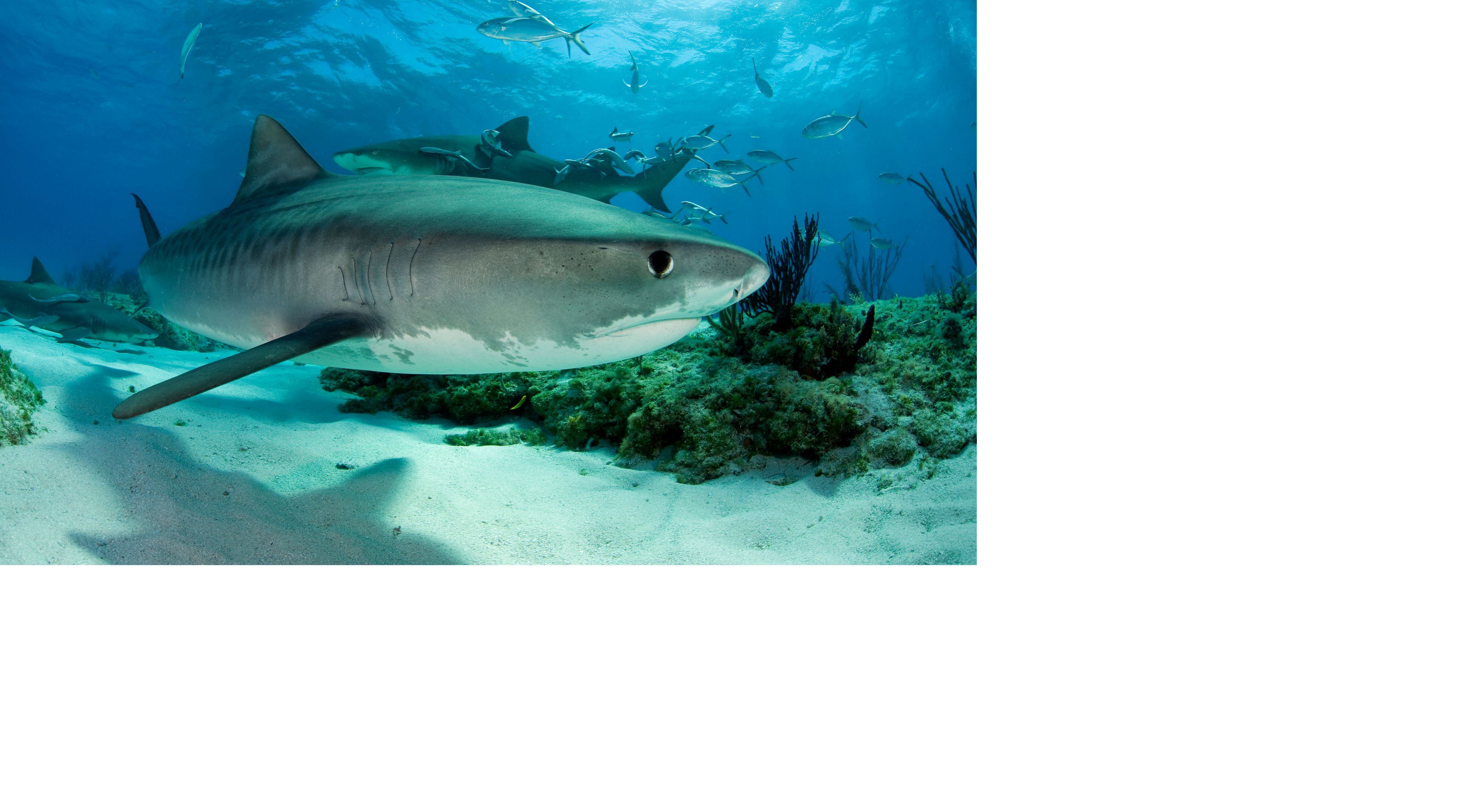 underwater side view of a shark near the bottom sand