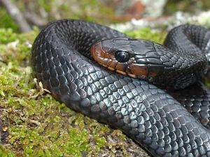 a black snake curled up