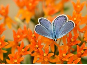 blue butterfly rests on a bright orange flower.