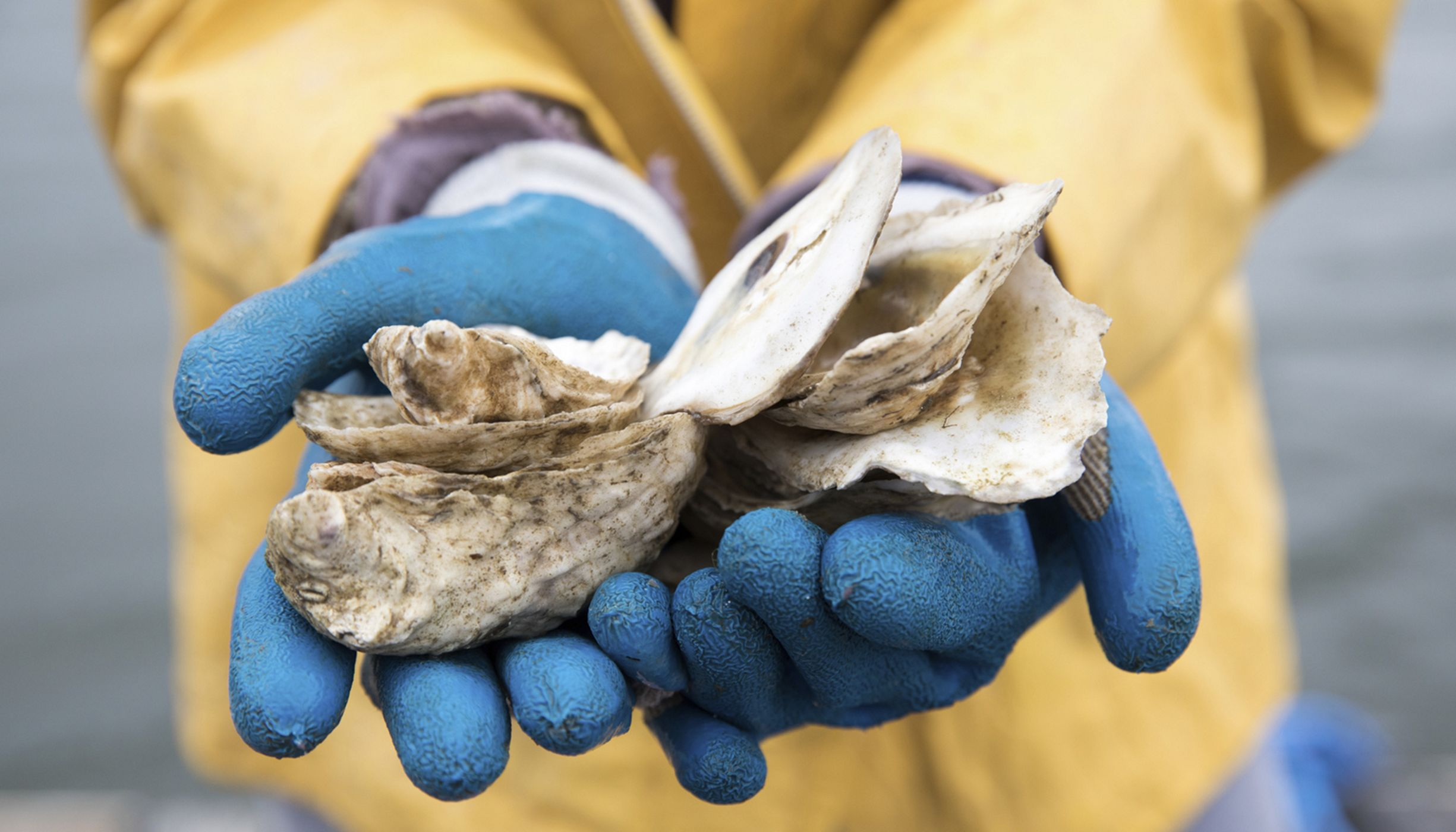 Hands holding oyster spat on a recycled shell.