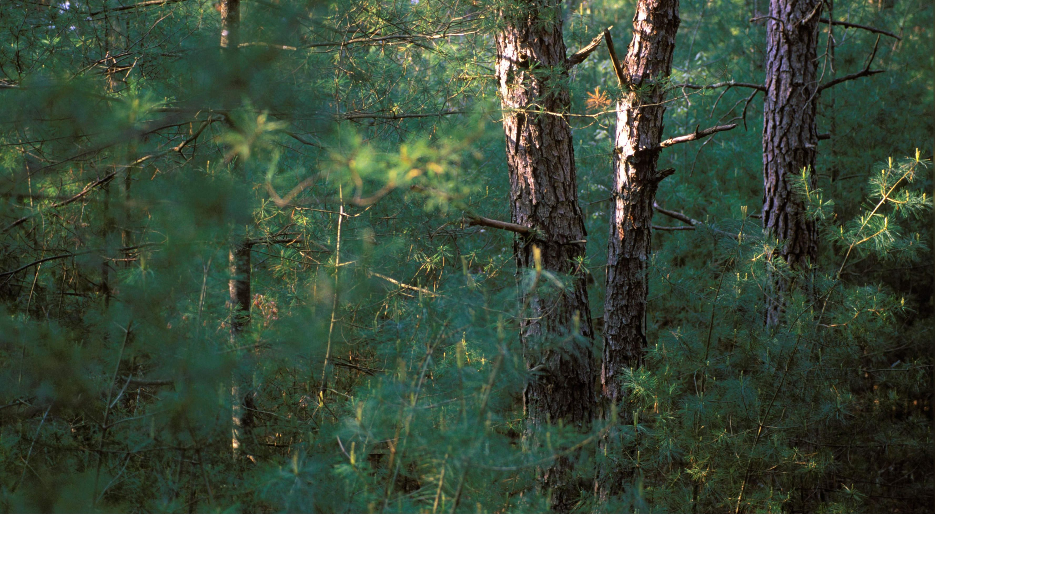 Pitch Pine Forest