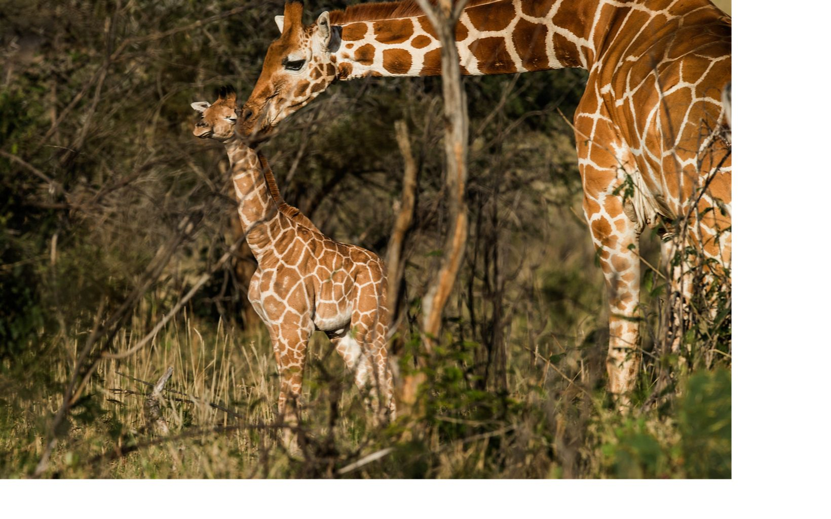 Current estimates are that giraffe populations across Africa have dropped 40 percent in 25 years, plummeting from 140,000 in the late 1990s to about 85,000 today.
