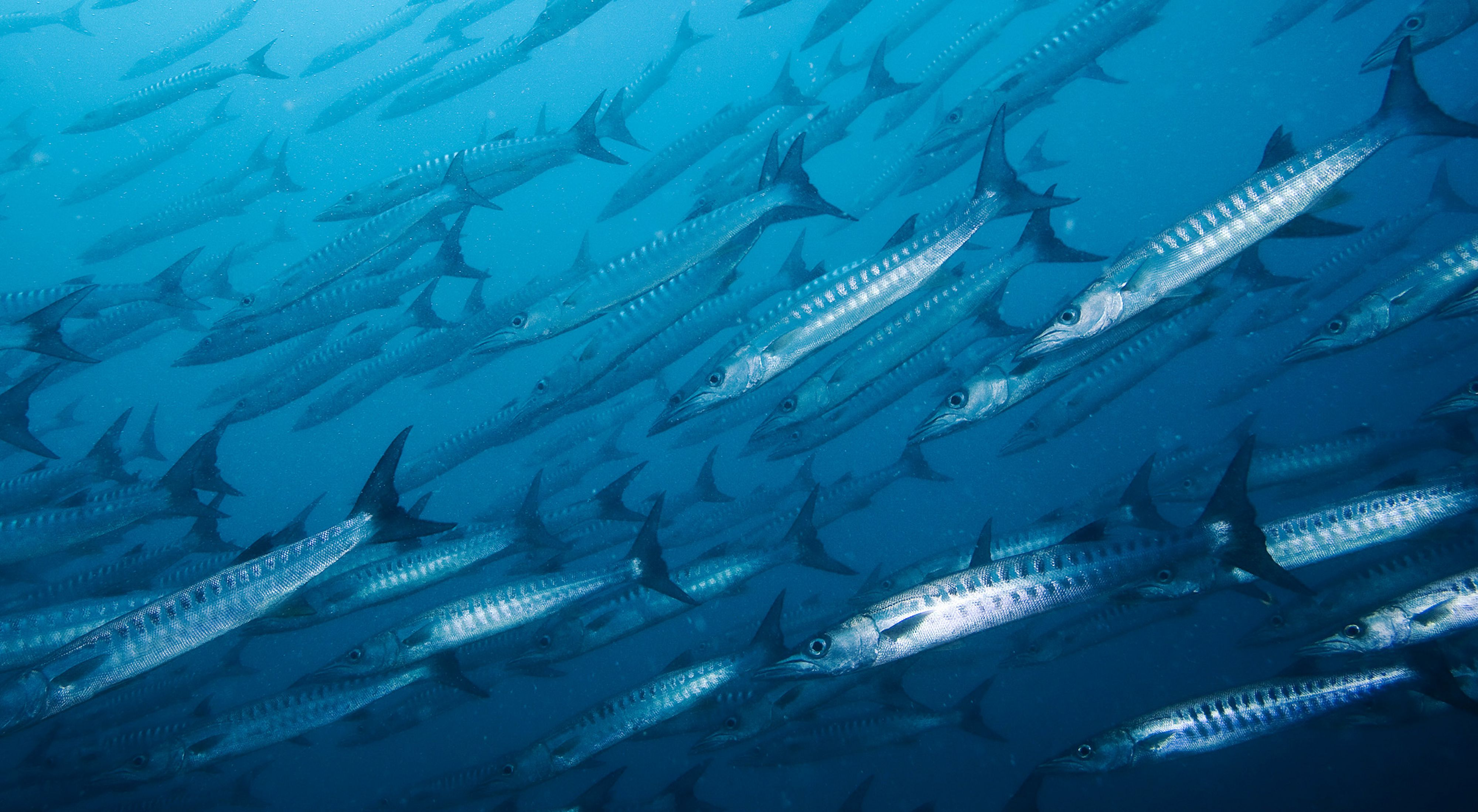 A school of barracuda photographed in the ocean waters off Palau's Rock Islands.