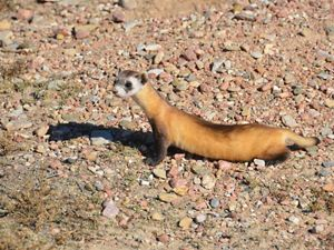 35 black-footed ferrets were reintroduced to their historic prairie home in eastern Colorado.