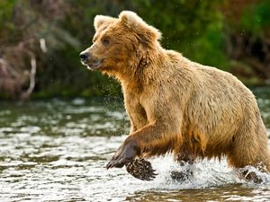 wet brown bear running through a river