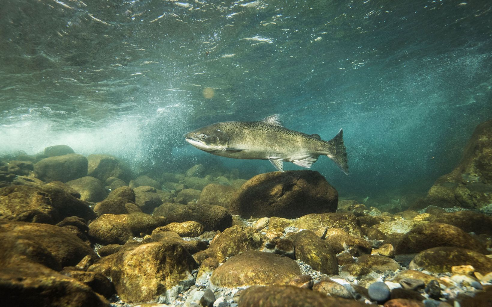 underwater view of a salmon swimming over rocks