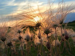 (ALL INTERNAL RIGHTS) Prairie smoke at sunset in Sauk County, Wisconsin. Photo credit: © Steve S. Meyer