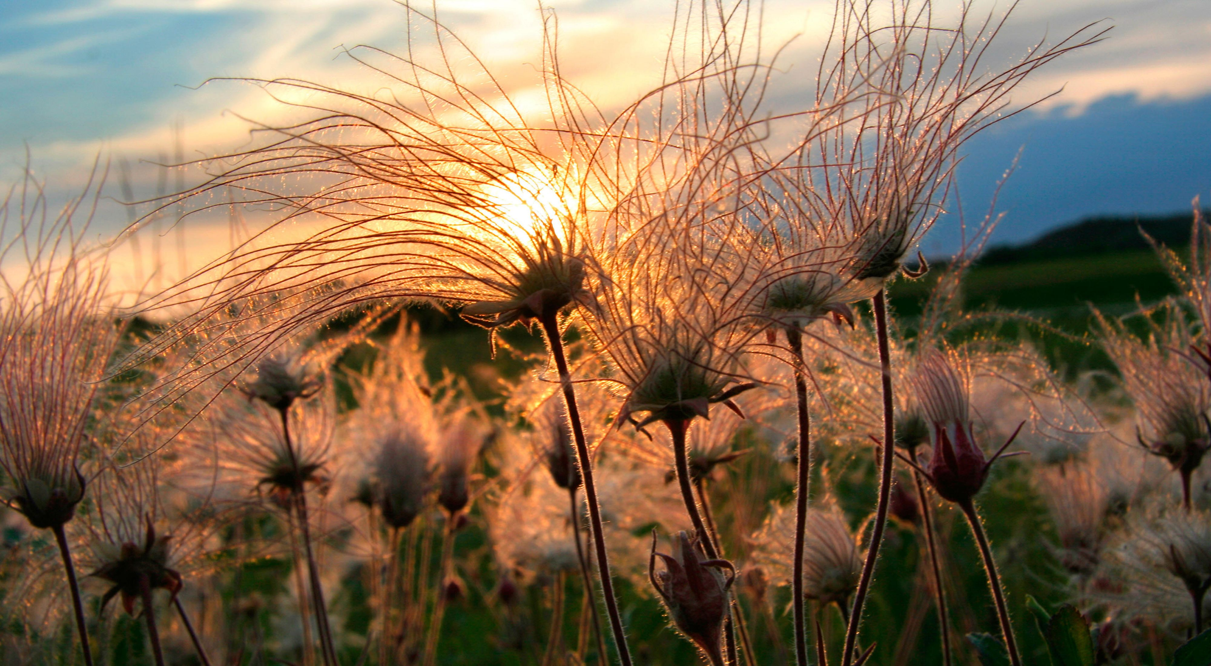 A field of Prairie Smoke—a pink wispy flower—with the sun setting in the distance beyond.