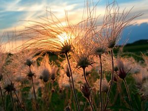 Prairie smoke at sunset in Sauk County, Wisconsin.