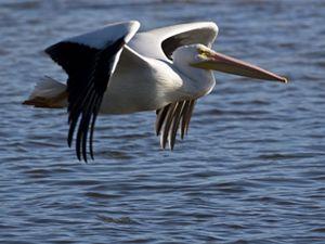 American white pelicans (Pelecanus erythrorhynchos) flying over Florida wetlands.