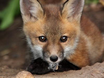 Red fox pup closeup, holding a leaf in its mouth.