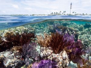 Coral reef with Loggerhead Key Lighthouse in the background. Loggerhead Key, Dry Tortugas National Park, Florida. credit:
