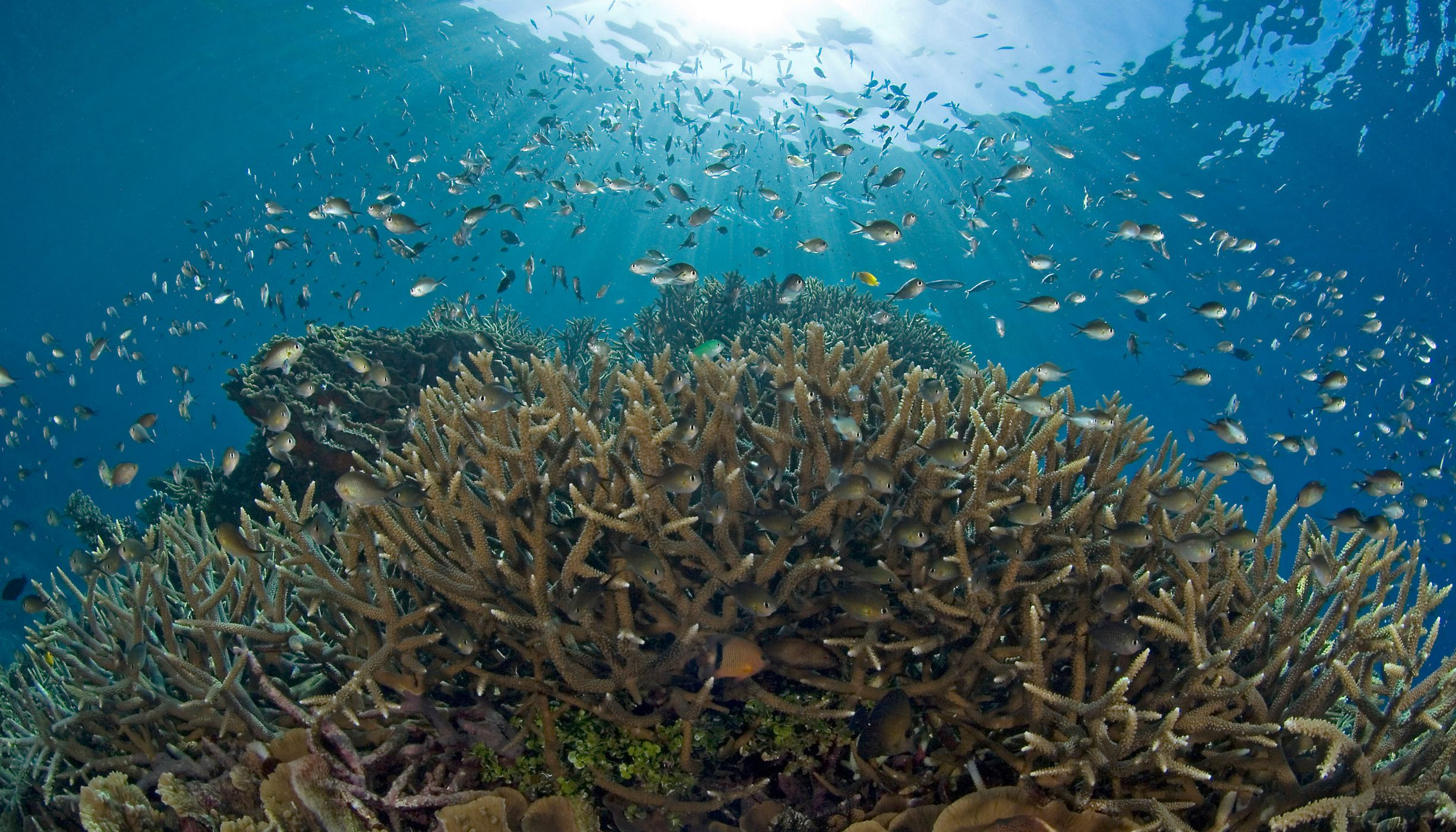 Reef, Damsels, and sunbeams, photographed on coral reefs and waters in the area of the Solomon Islands (a nation in Melanesia, east of Papua New Guinea).