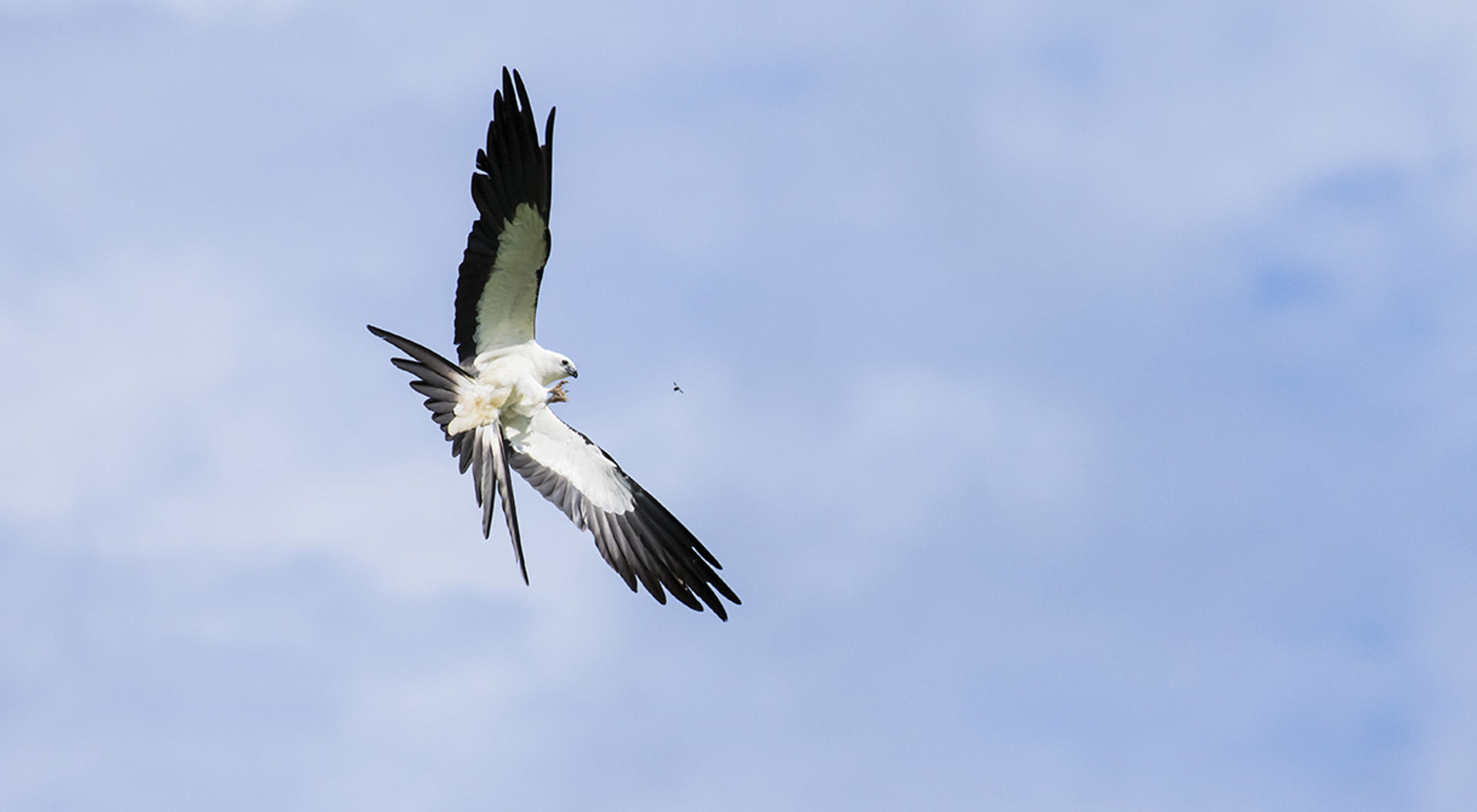 A swallow-tailed kite flies against a blue sky