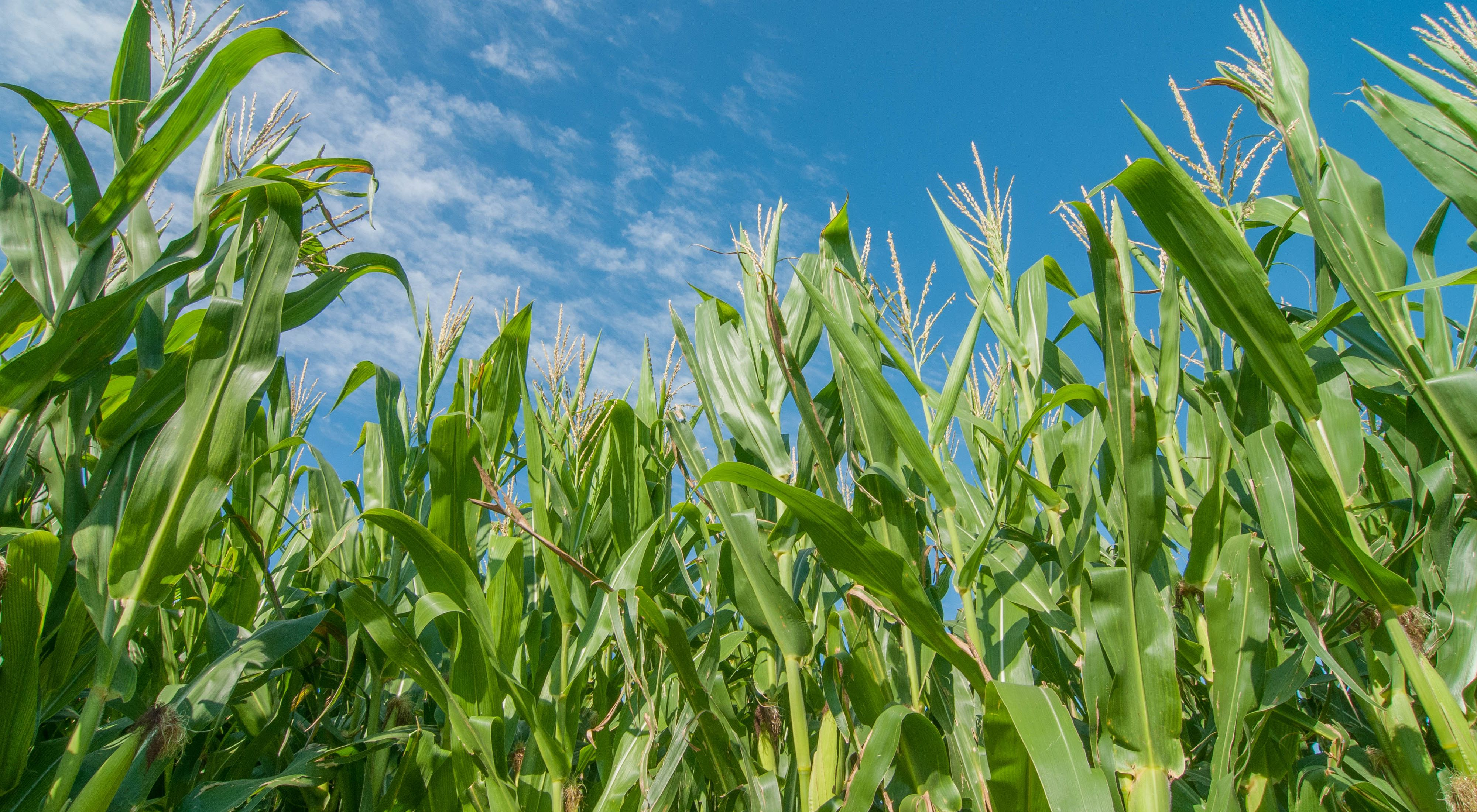 corn growing in Gothenburg, Nebraska