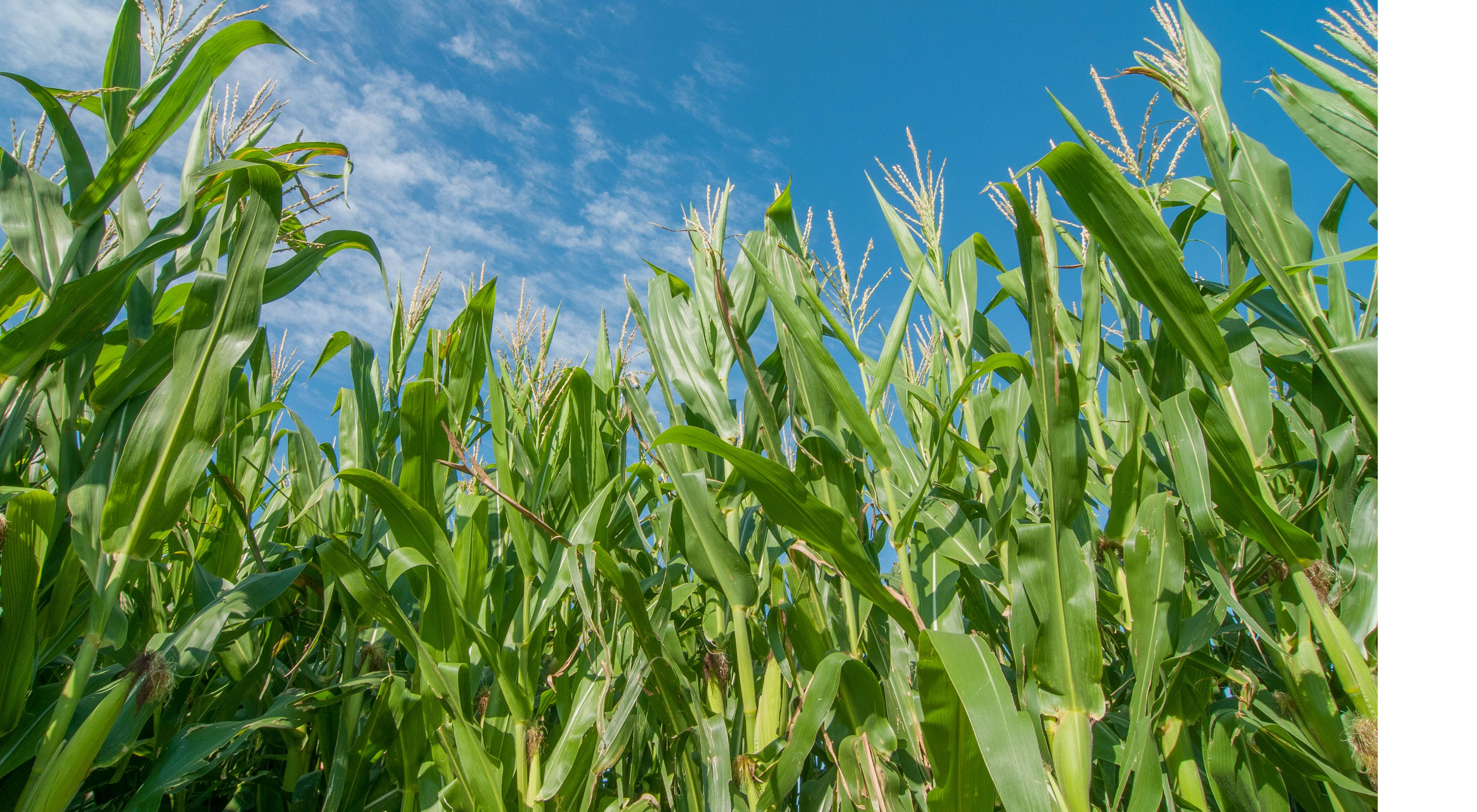 view of corn stalks from below agains the sky