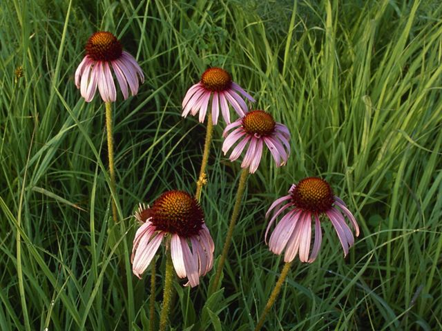 Five purple coneflowers emerge from tall green grasses