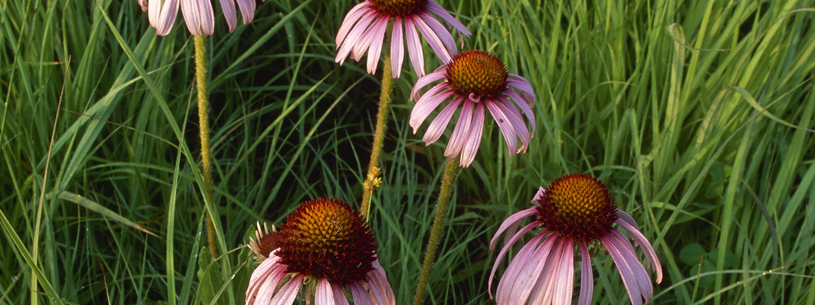 Five purple coneflowers emerge from tall grasses.