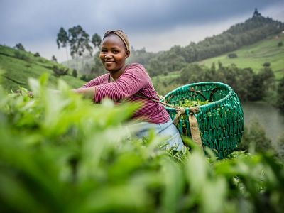 A young woman picking tea leaves on a tea plantation in the Upper Tana Watershed, Kenya. The Nature Conservancy is working to protect the Upper Tana Watershed in Kenya.