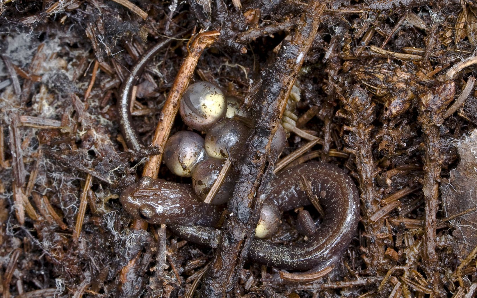 A threatened woodland salamander found only on Cheat Mountain, and a few nearby mountains, in the eastern highlands of West Virginia.