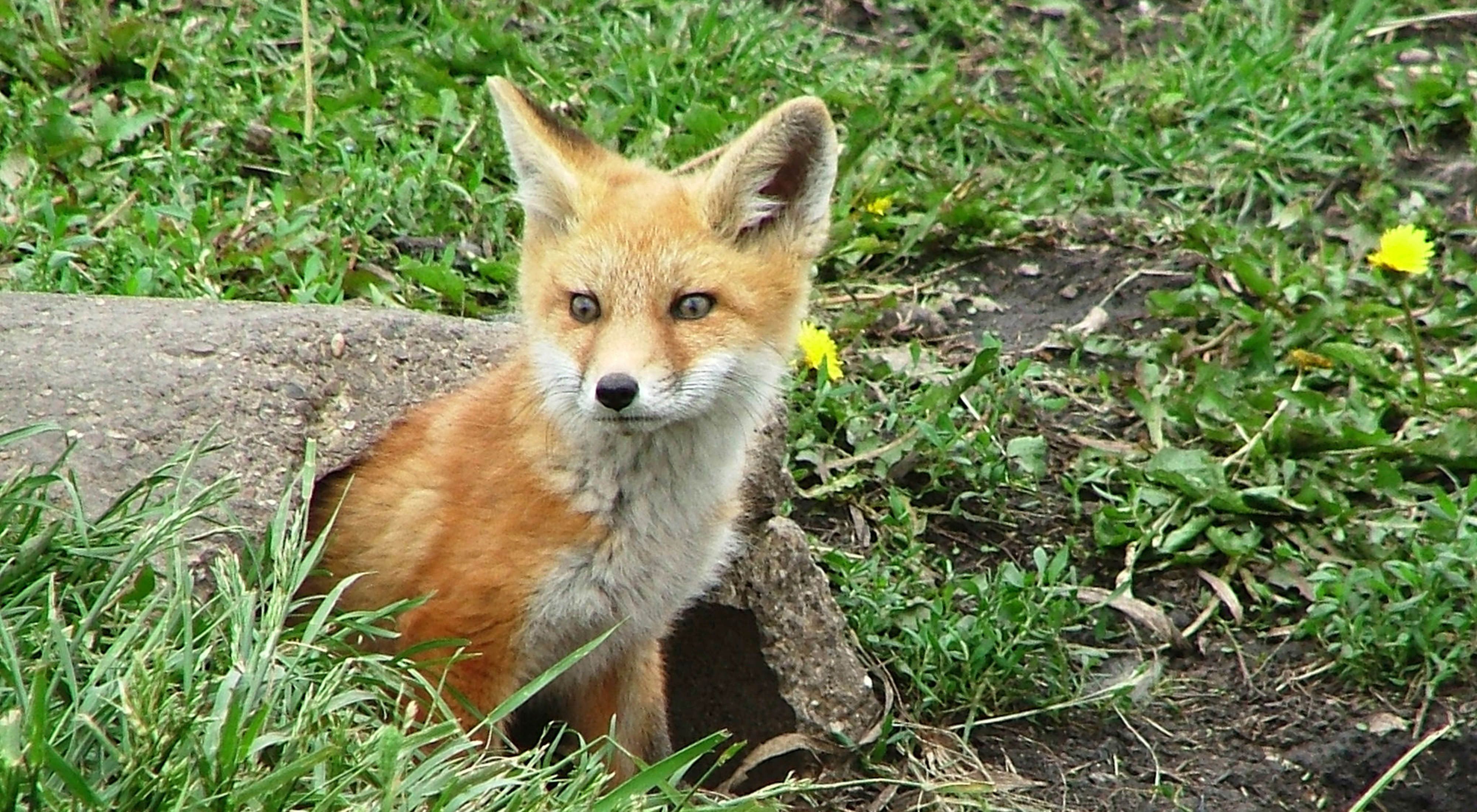 Fox kit at Franklin demonstration farm in the Mackinaw River watershed, Lexington, Illinois.