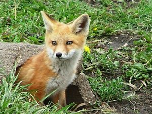 A fox kit pictured in the center of the frame looks to the lefthand side of the frame, emerging from a log set against a field with green grass.