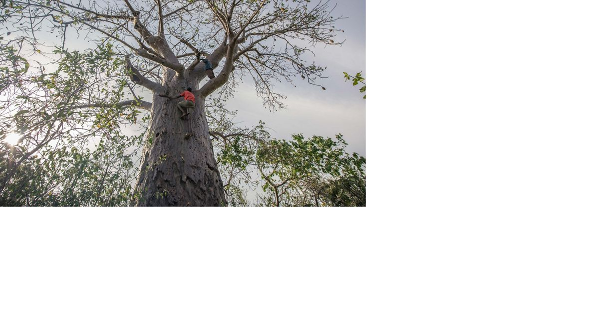 Two men climbs toward the top branches of a baobab tree