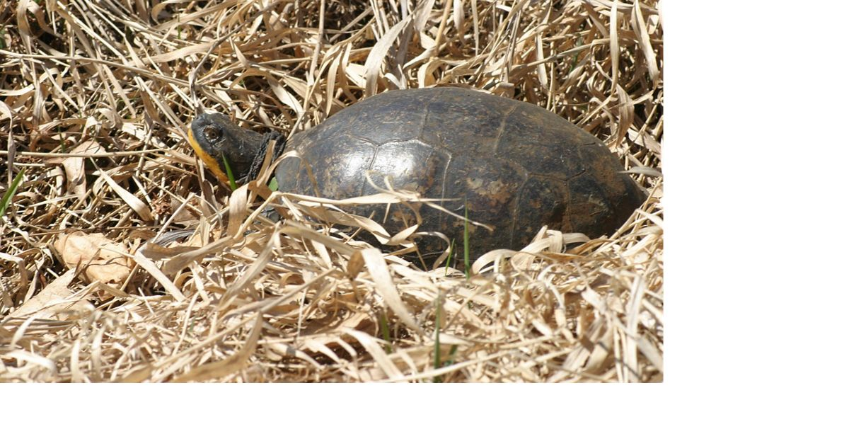a turtle surrounded by dry yellow grasses or hay.