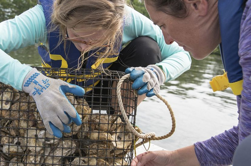 Two women lean over a mesh cage full of oysters with water in the background.