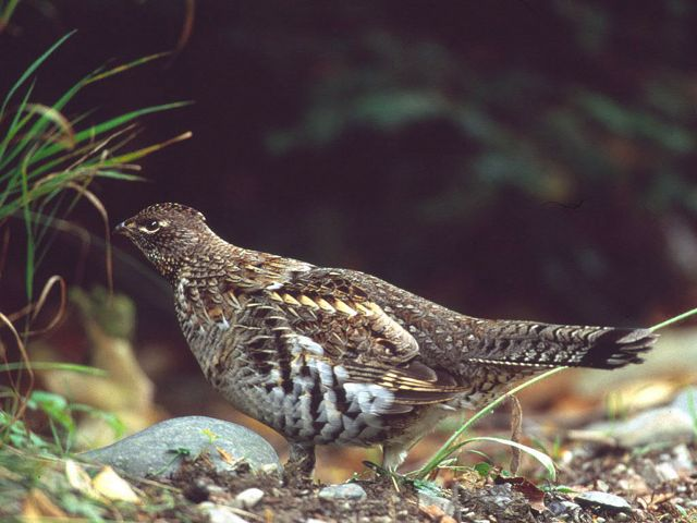 A ruffed grouse walks along the floor of a forest.