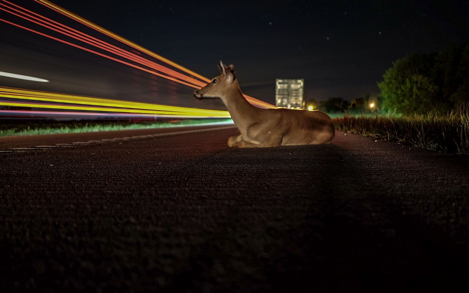 A deer rests on the side of the road along highway 49 in Nevada.