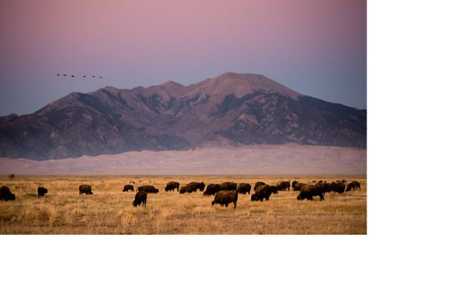 bison with purple mountains in the background