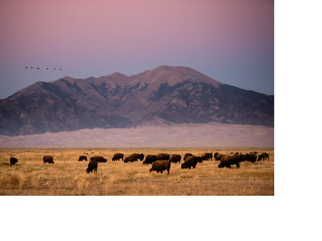 grazing on the Zapata Ranch in Colorado with the Great Sand Dunes National Park and Sangre de Cristo mountains in the background.