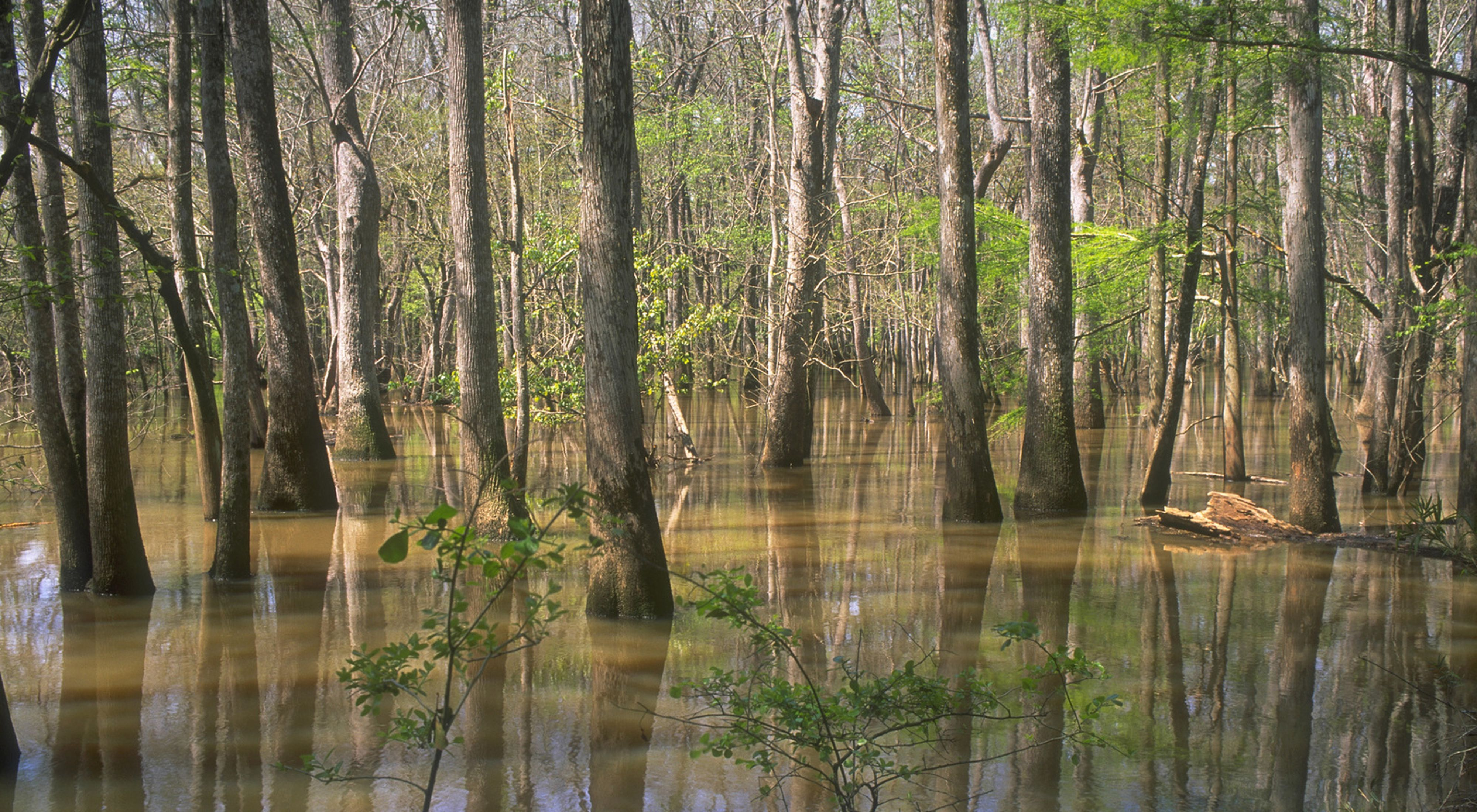 Water tupelo and bald cypress in Altamaha River, Georgia, United States, North America.