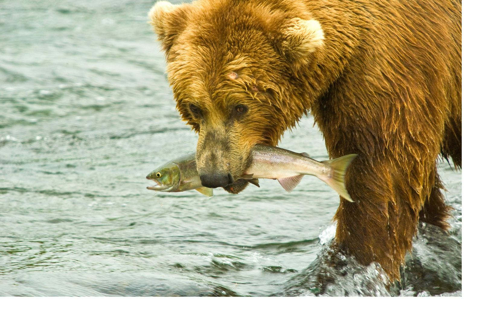 a brown bear with a salmon in its mouth