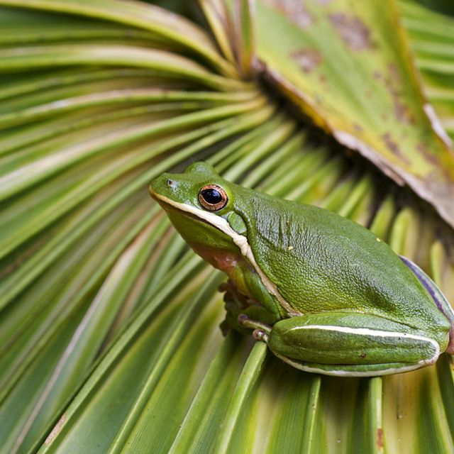 Side view of an American green tree frog on a palm