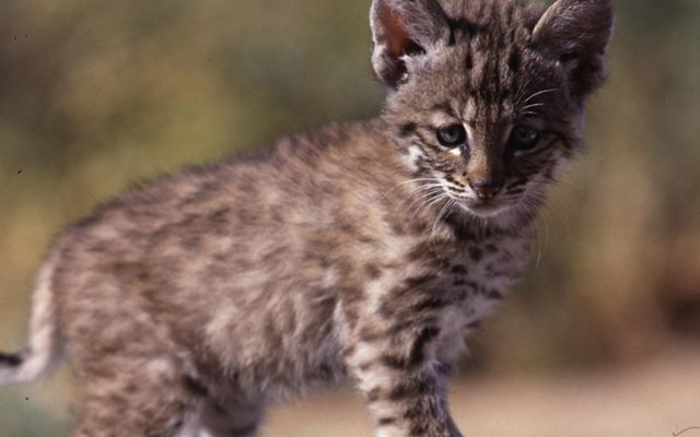 Closeup of a bobcat kitten