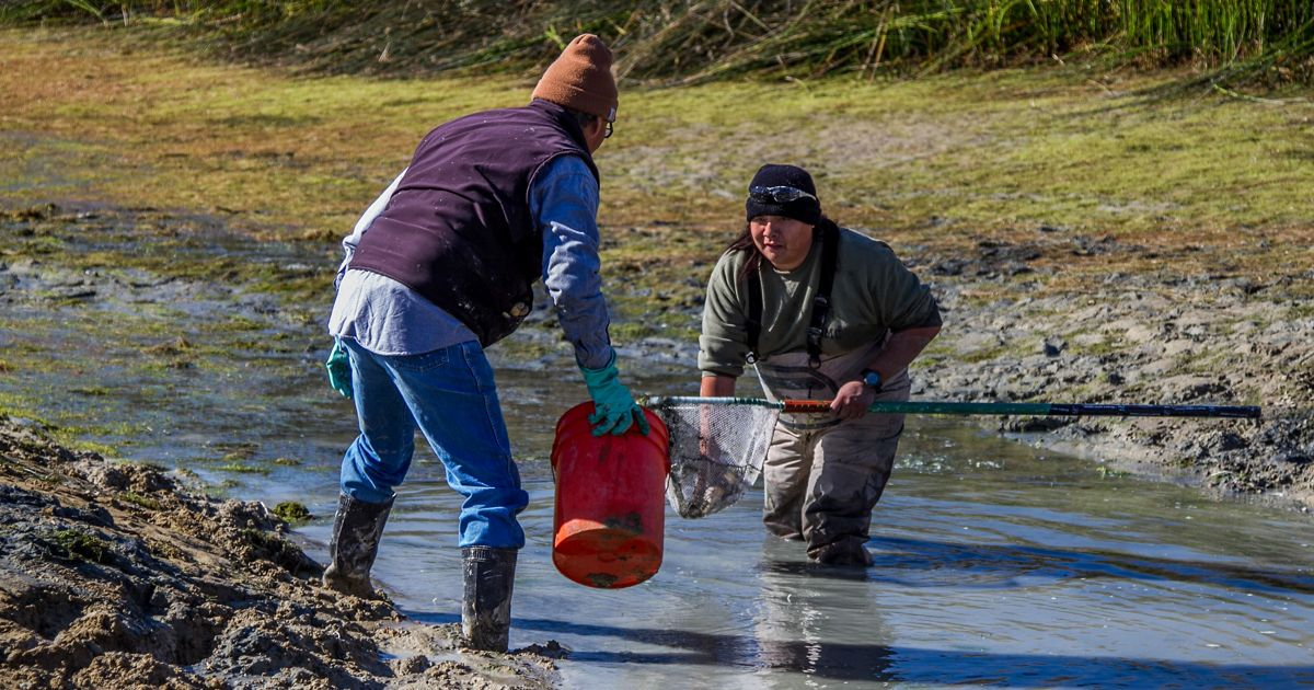 Collecting fish from a drained pond to be released in tributaries of the Colorado River