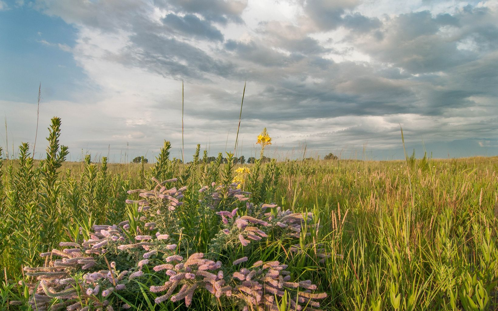 Silky prairie clover and restored sand prairie at The Nature Conservancy's Platte River Prairies, Nebraska.