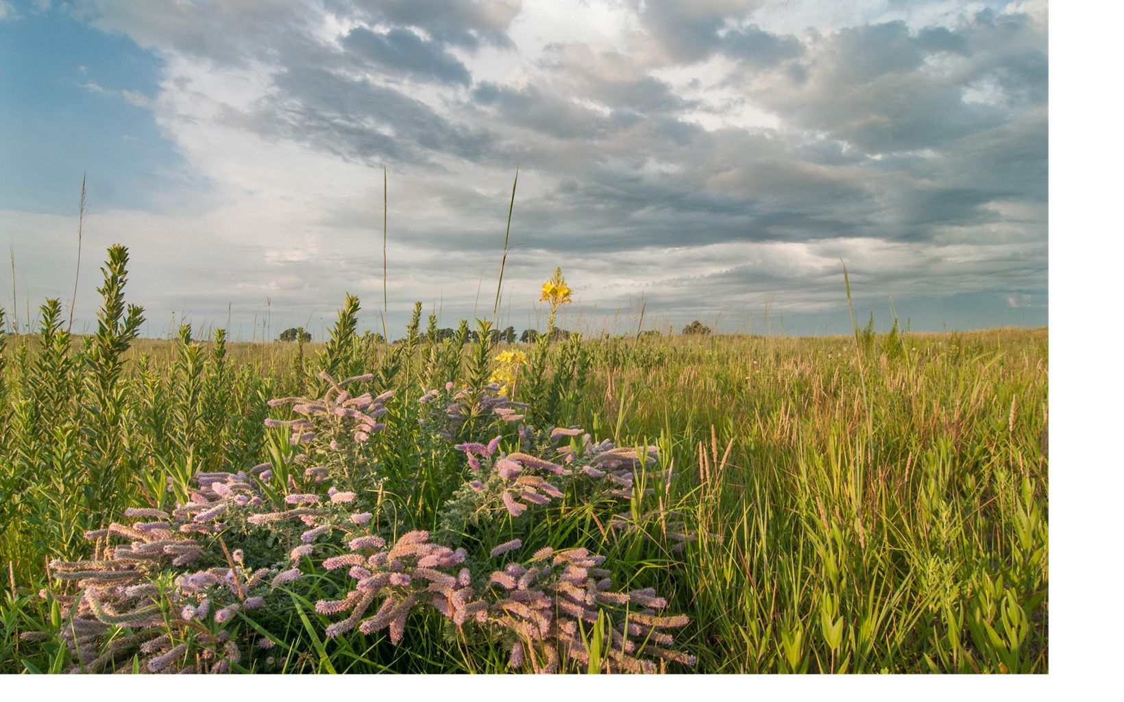 Silky prairie clover and restored sand prairie at The Nature Conservancy's Platte River Prairies, Nebraska.