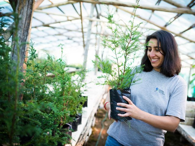 March 2012. Patricia Poveda, a park guard at the Valdivian Coastal Reserve, holding an Alerce (Fitzroya cupressoides) saplings in the reserve's greenhouse, the alerce saplings are planted to restore native forest in the reserve when the eucalyptus planta