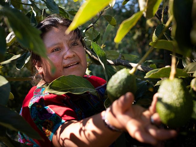 Hilda Pelepé on her small, family farm. She is in the early stages of converting from water and chemical intensive strawberries to agroforestry-based avocado trees.
