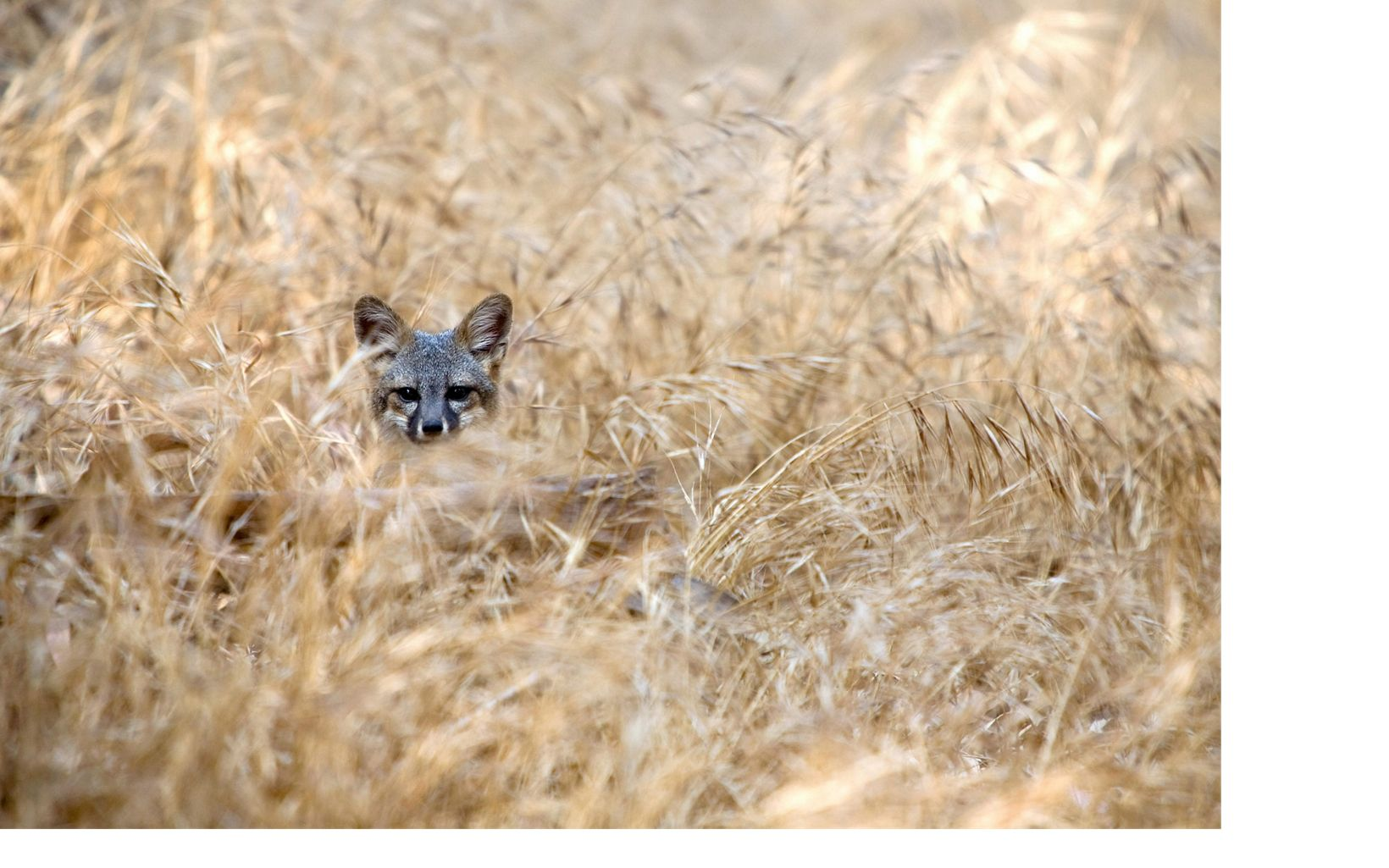 fox head visible as the animal hides in the grass