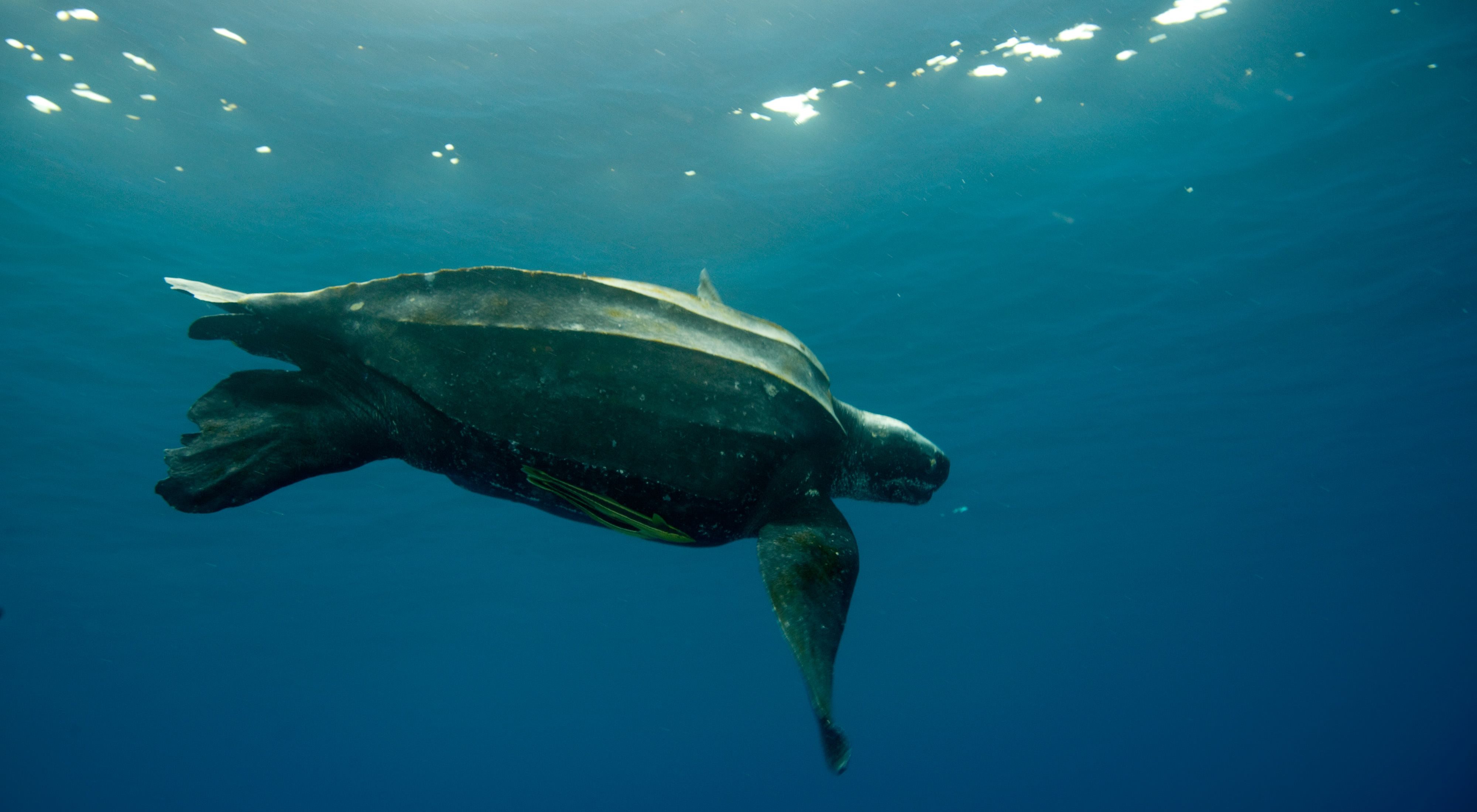 underwater view of a sea turtle swimming near the surface