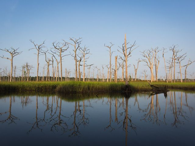 Dead cypress trees stand in a wetland