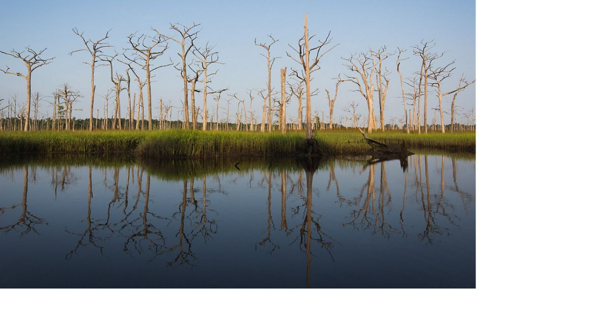 A dead cypress forest marks the arrival of saltwater in South Carolina's Sampit River.