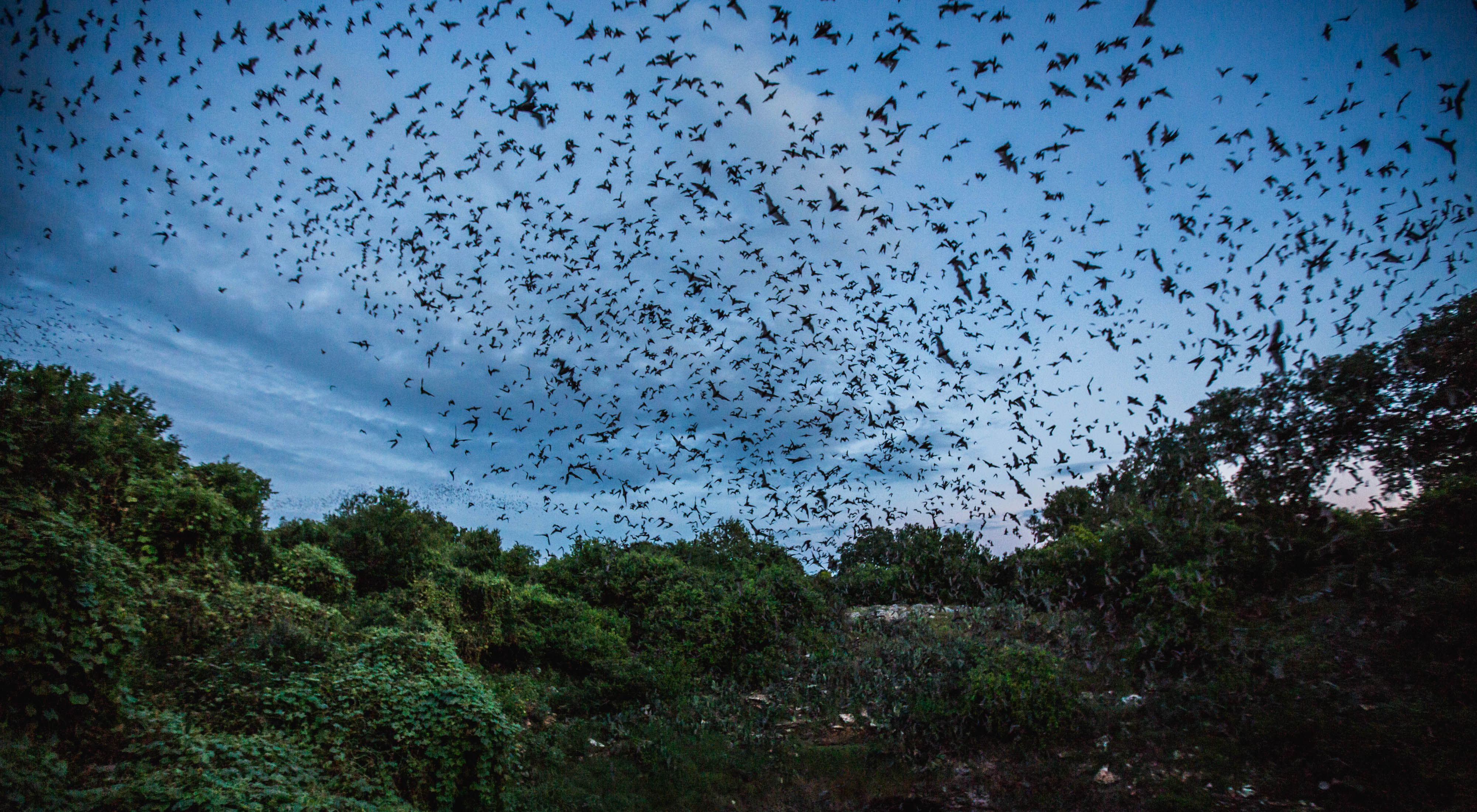 Thousands of Mexican free-tailed bats emerge from the Bracken Cave in Texas at dusk to feed on insects.