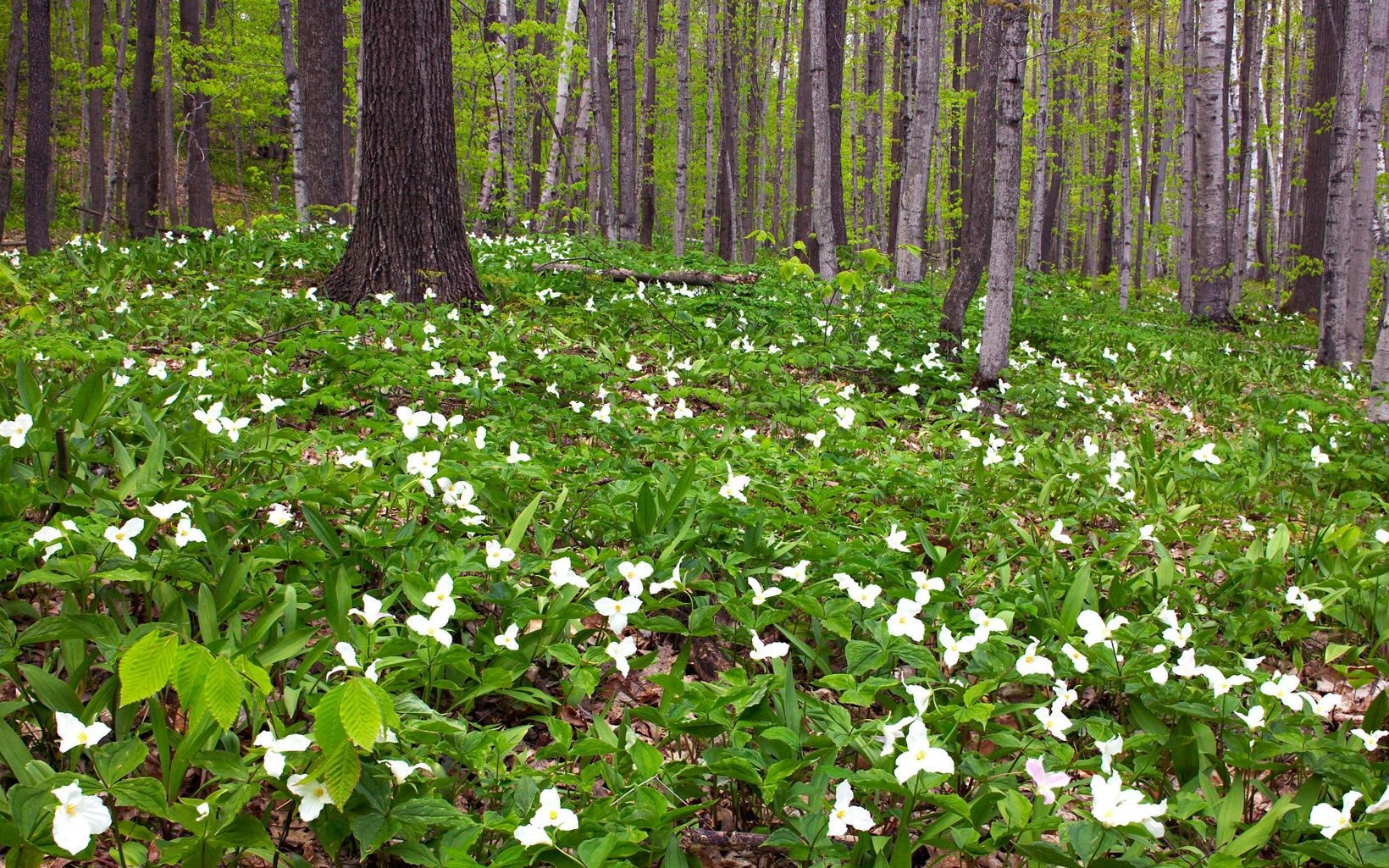 A forest floor blanketed with green plants with three-petaled white trillium flowers.