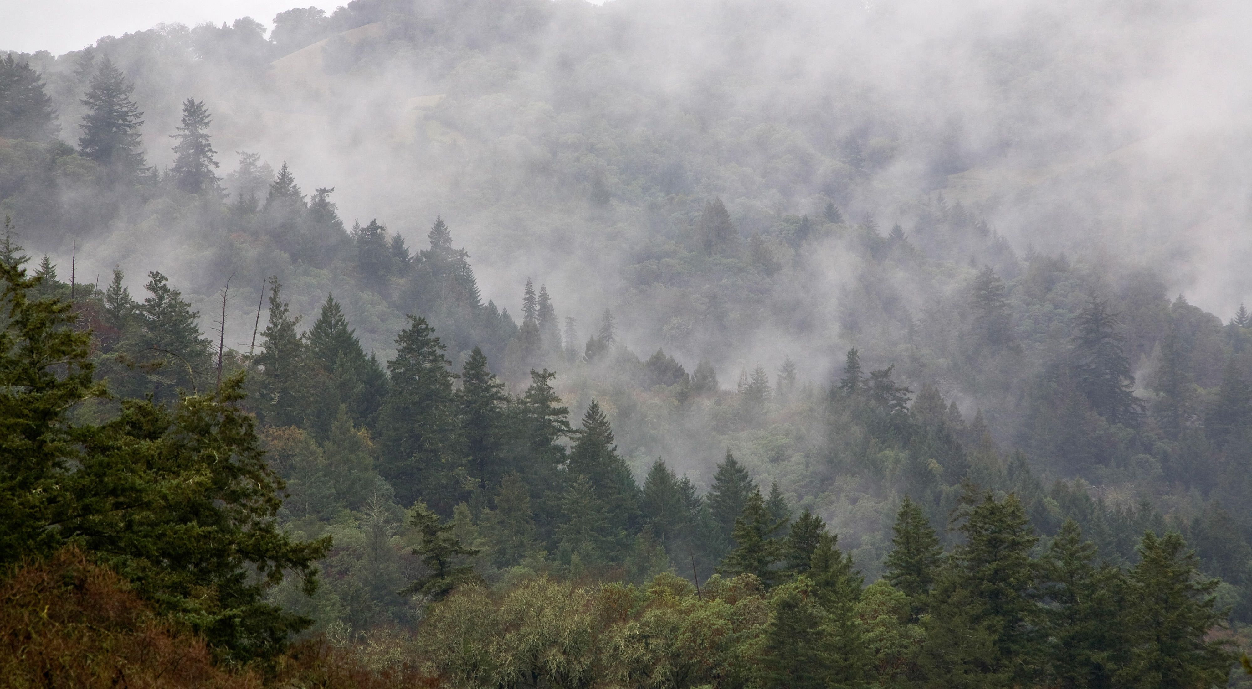 mist over a hilly pine forest