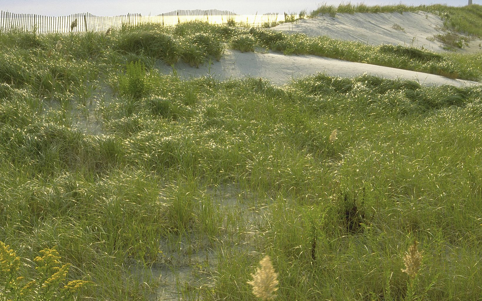 Restored dunes at the South Cape May Meadows Preserve.